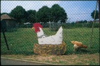 http://www.nikstrangelove.com/files/gimgs/th-52_Chicken&Sign_v2.jpg
