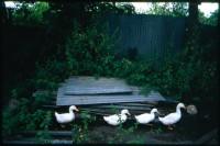 http://www.nikstrangelove.com/files/gimgs/th-52_DucksWalking_v2.jpg